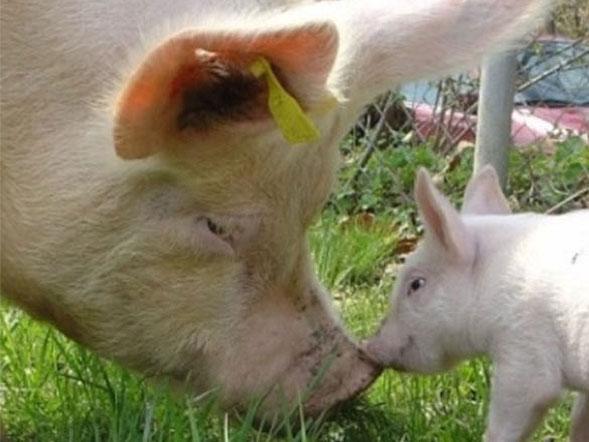 Titelbild: Schweineklinik